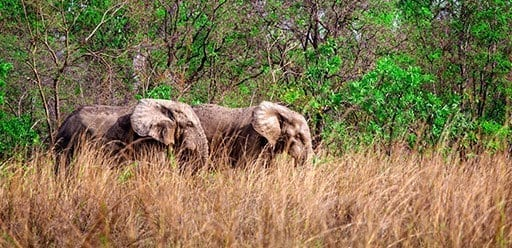 African elephants in Mole National Park, Ghana