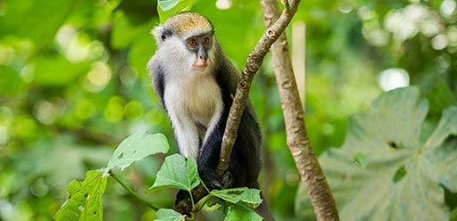 PMGY Volunteer Weekend trips in Ghana touring Boabeng Fiema Monkey Sanctuary during their Volunteer work in Ghana
