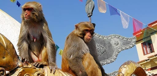 PMGY Volunteer Weekend trips in Nepal watching monkeys play Swayambhunath Temple during their Volunteer work in Nepal