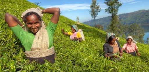 Indigenous Sri Lankan tea picker harvesting