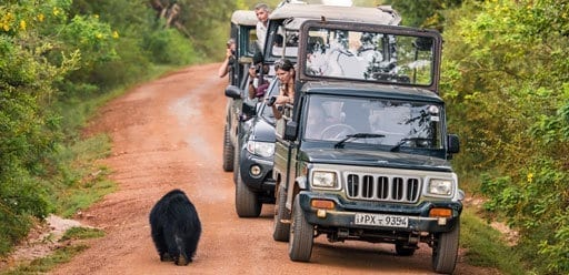 PMGY Volunteer Weekend trips in Sri Lanka on a jeep safari in Yala National Park spotting a sloth bear during their Volunteer work in Sri Lanka