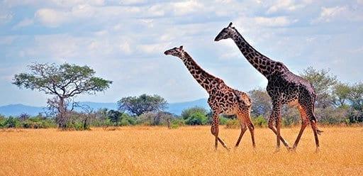 PMGY Volunteer Weekend trips in Tanzania watching giraffes on safari in Arusha National Park during their Volunteer work in Tanzania