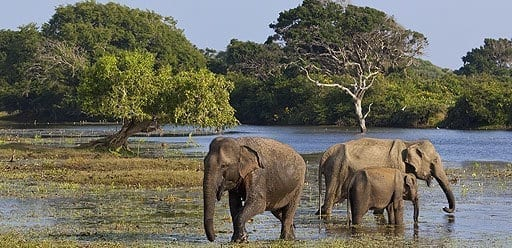 PMGY Volunteer Weekend trips in Sri Lanka watching wild elephants on safari near the Cultural Triangle during their Volunteer work in Sri Lanka