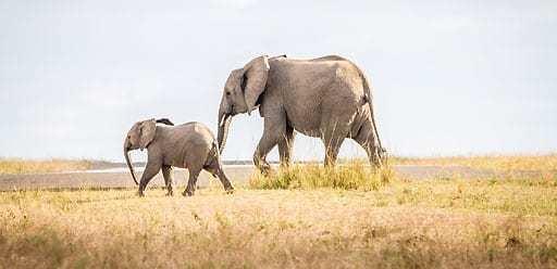 PMGY Volunteer Weekend trips in Tanzania watching elephants on safari in National Parks during their Volunteer work in Tanzania