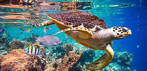 PMGY volunteer abroad snorkeling with turtles during the volunteer weekend trips in Sri Lanka