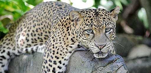 PMGY volunteer in Sri Lanka spotting leopards on safari in Yala during their volunteer weekend trips in Sri Lanka