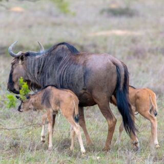 A mother Wildebeest (or Gnu) with two newborn calves. Both still have the umbilical cord attached and would have been born a few hours earlier. This was their first morning! #gnu #wildebeest #wildebeests #wildlifephotography #wildlife #wildlife_perfection #wildlifeonearth #wildebeestcalf #wildlifeprotection #kwantu kwantu_game_reserve #wildlifeofinstagram #wildlifeconservation#wildlifemanagement #cute #babycalves #mother #mothernature #naturephotography #naturelovers #nature_perfection #natureshots #wildlifeofafrica #africanwildlife #africanwildlifephotography #travel #travelphotography #travelgram #traveltheworld #travelblogger