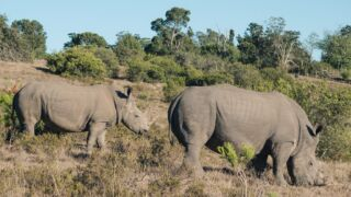 In the last five years, commercial poaching of rhino has escalated to unsustainable levels. Poachers are killing black and white rhino at a rapid rate in an effort to sell the horn illegally. The IUCN now lists the black rhino as critically endangered and the white rhino as near threatened. 💔⠀  Projects such as the South Africa Wildlife Experience play an important role in the on-going conservation efforts for species such as the rhino. They provide a large area of land where wild animals can live safely. They also provide a worldclass class education and research facility to help with the long-term outlook for these beautiful animals. 🦏  #pmgy #pmgysouthafrica #kwantu