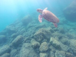 Ever come across a turtle whilst snorkelling? 🤿  One of our volunteers were lucky enough to come across a turtle that was tagged in the Argostoli harbour! 🙌   Tagging allows us to track a turtle's movements. These tags do not pose any danger to the turtles. The overall aim of turtle tagging is to collect key measurements of these amazing creatures so we can assess their overall health. In turn, we gather valuable information necessary for the animal's protection. 🐢   #pmgy #pmgygreece #turtletagging