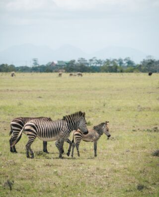 Did you know❓⁠ ⁠ Every zebra has a unique pattern of black and white stripes! Just as no two human fingerprints are alike, no two zebras have the same stripe pattern.💡⁠ ⁠ Happy International Zebra Day! 🦓🦓🦓⁠ ⁠ #pmgy #pmgysouthafrica #pmgyexperience #zebra #stripes #internationalzebraday